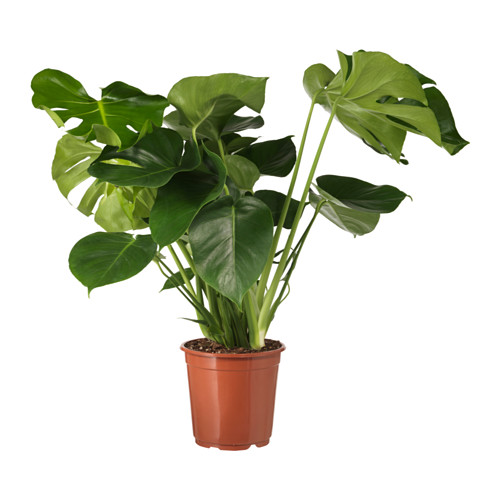 monstera-potted-plant-swiss-cheese-plant__0507893_pe636086_s4